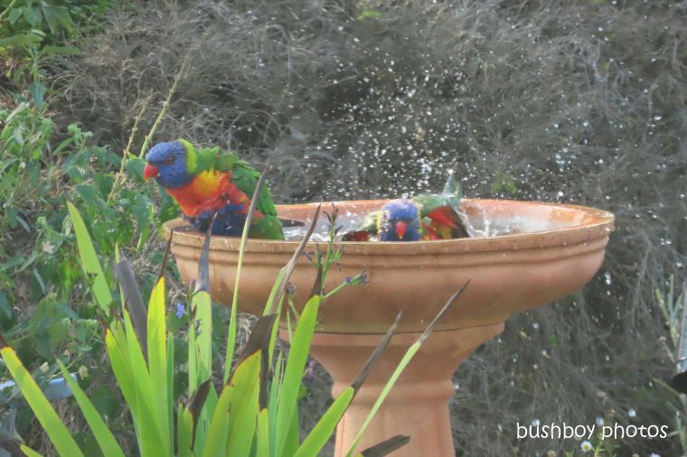 rainbow_lorikeets_bird_bath_fun_splash5_named_caniaba_oct 2019