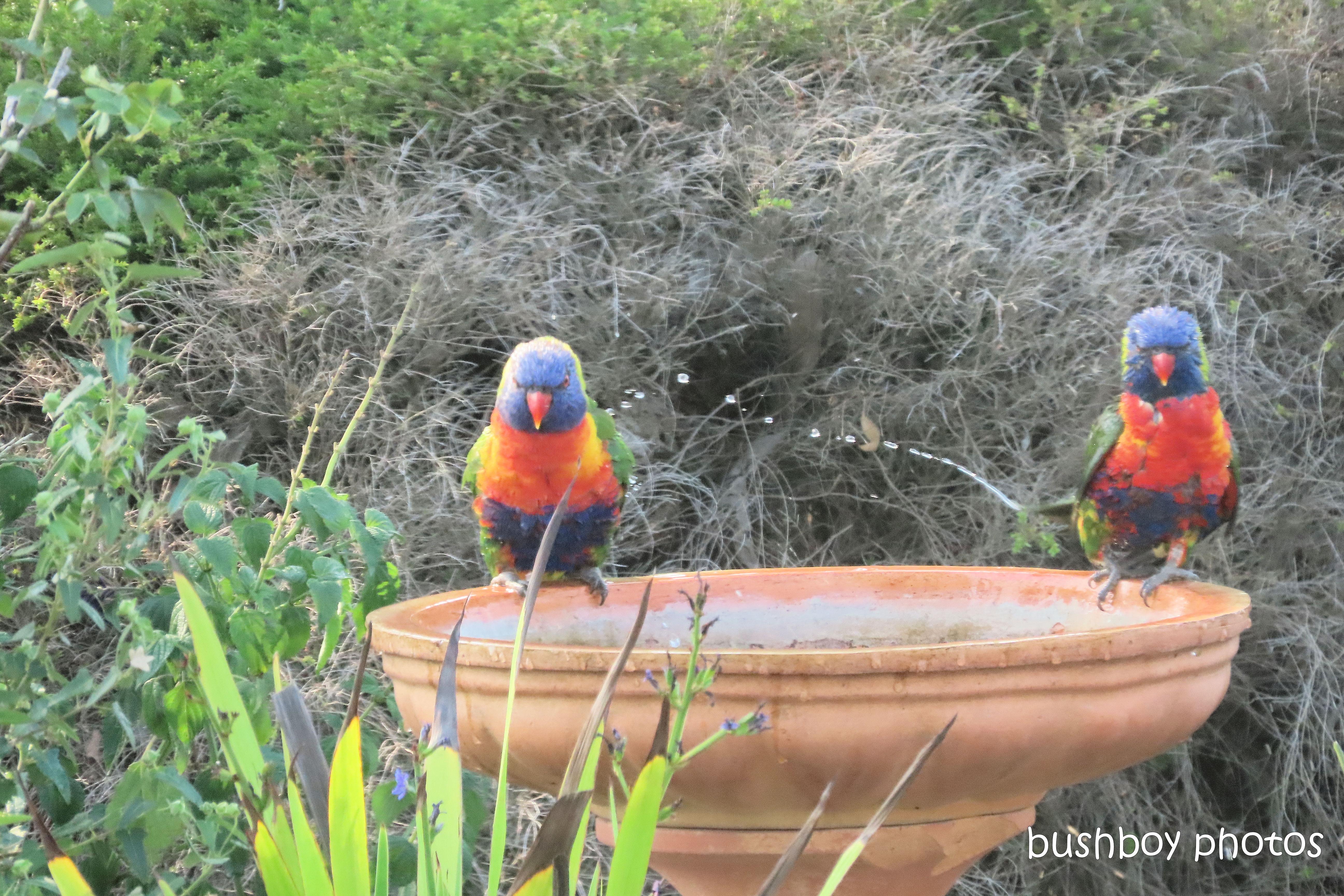 rainbow_lorikeets_bird_bath_fun_splash6_named_caniaba_oct 2019