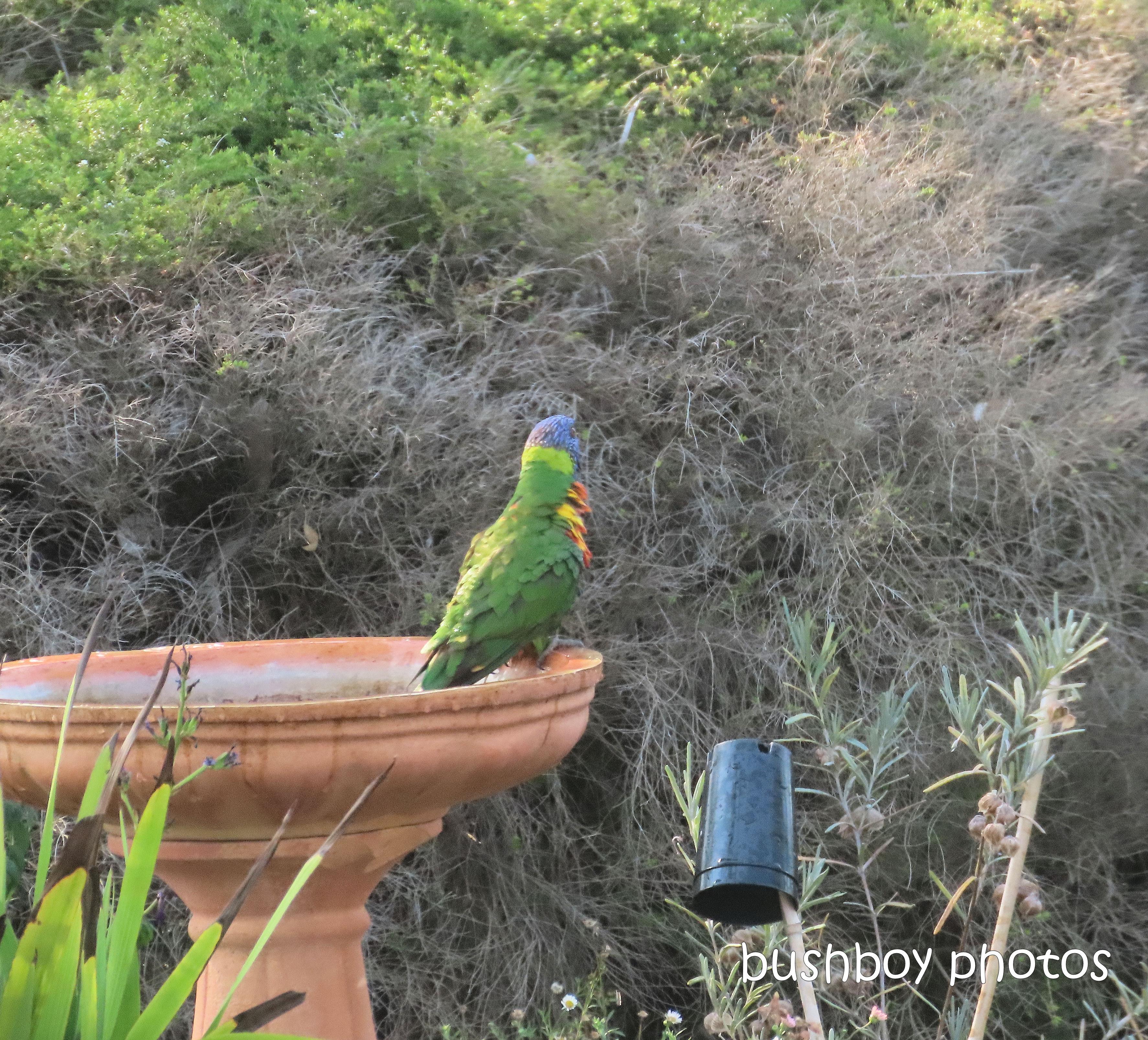 rainbow_lorikeets_bird_bath_fun_splash7_named_caniaba_oct 2019