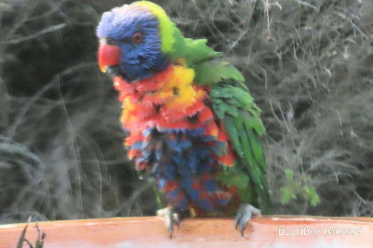 rainbow_lorikeets_bird_bath_fun_splash8_named_caniaba_oct 2019