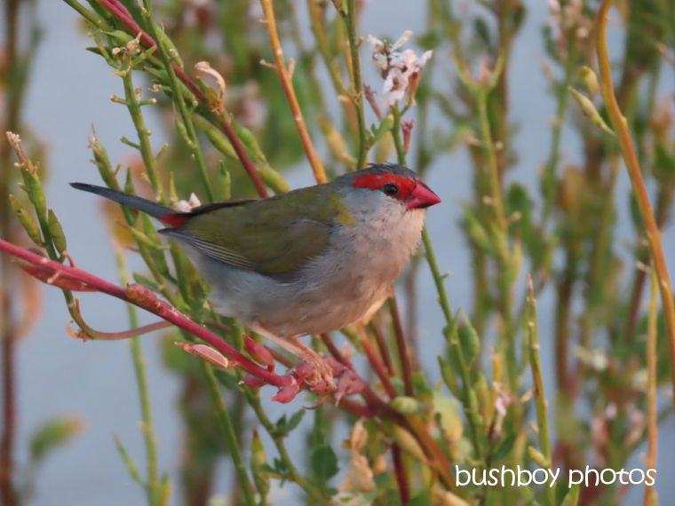 red_browed_firetail_finch_named_caniaba_sept 2019