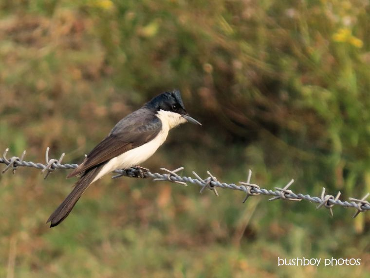 satin_flycatcher_fence_named_caniaba_sept 2019