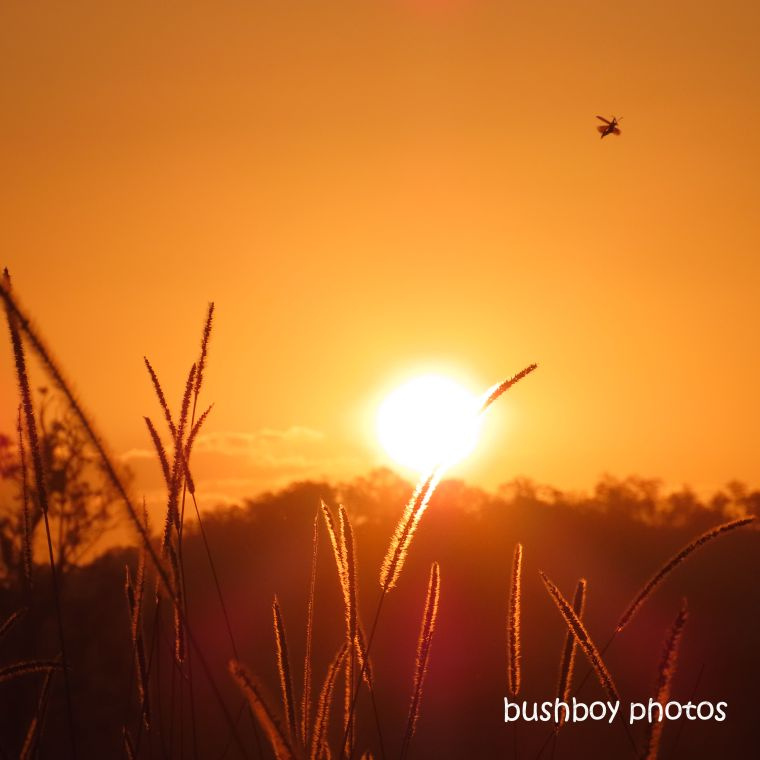 sunsegrass_seeds_insect_named_caniaba_sept 2019