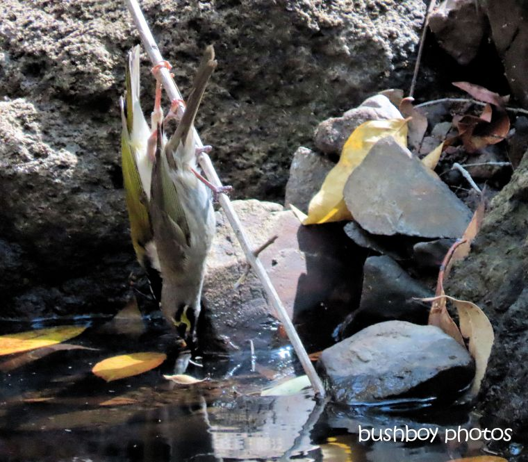 waterhole_drinking_yellow_faced_honeyeater_white_throated_honeyeater_named_home_jackadgery_sept 2019