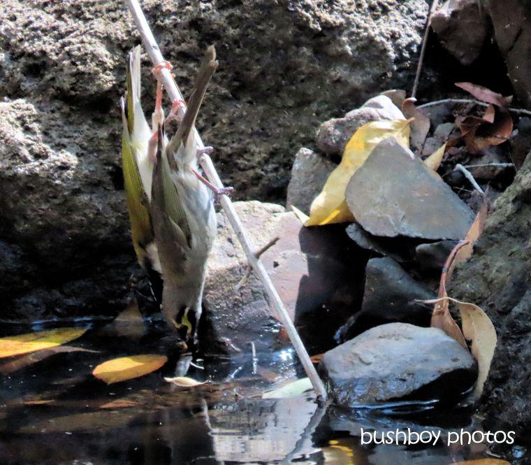waterhole_drinking_yellow_faced_honeyeater_white_throated_honeyeater_named_home_jackadgery_sept 2019