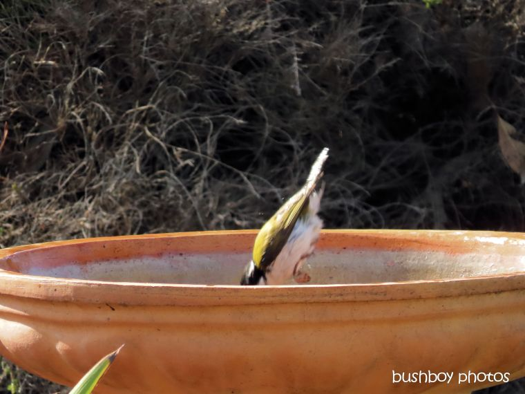 white-throated honeyeater_bird_bath_diving_named_caniaba_sept 2019