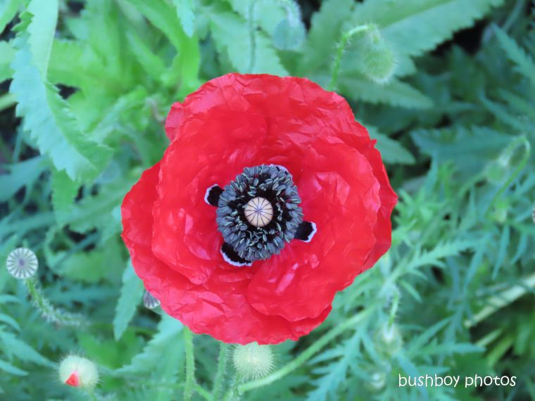 191111_blog_challenge_macro_monday_poppy1