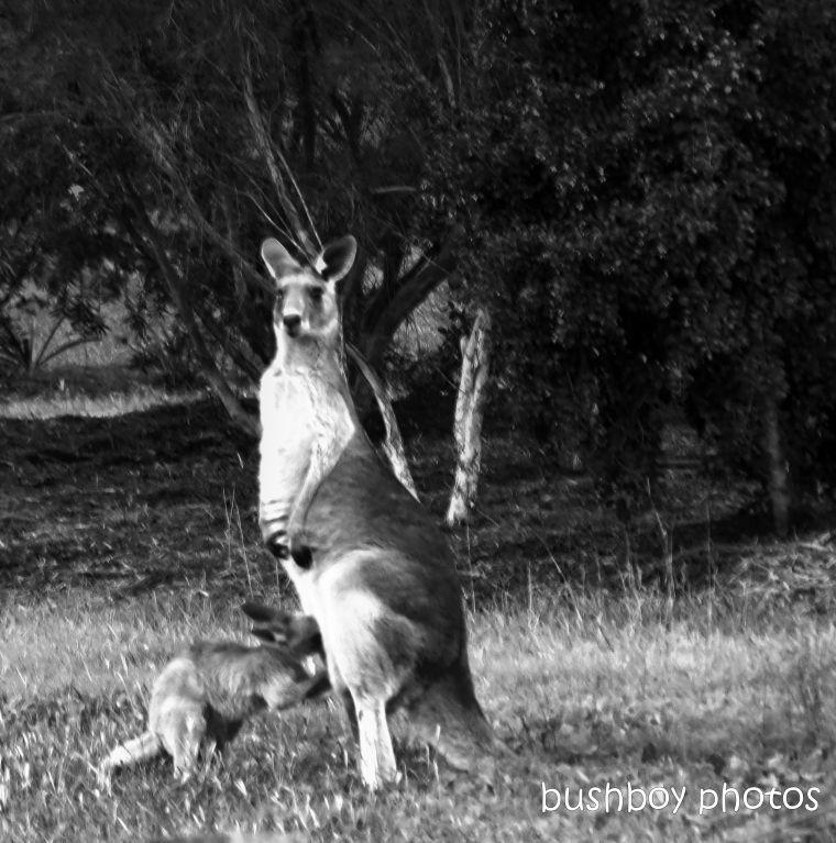 191115_blog_challenge_blackandwhite_letterK_kangaroo