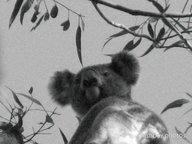 191115_blog_challenge_blackandwhite_letterK_koala