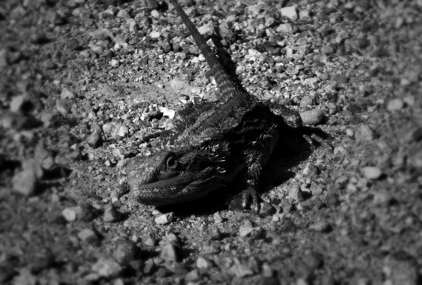 191115_blog_challenge_blackandwhite_letterL_lizard_bearded dragon