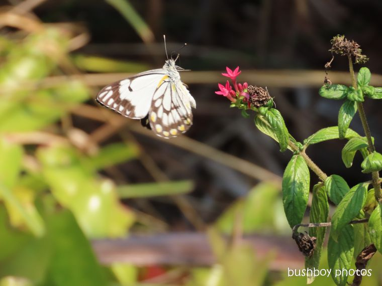 191117_blog_challenge_waiting_caper white butterfly5