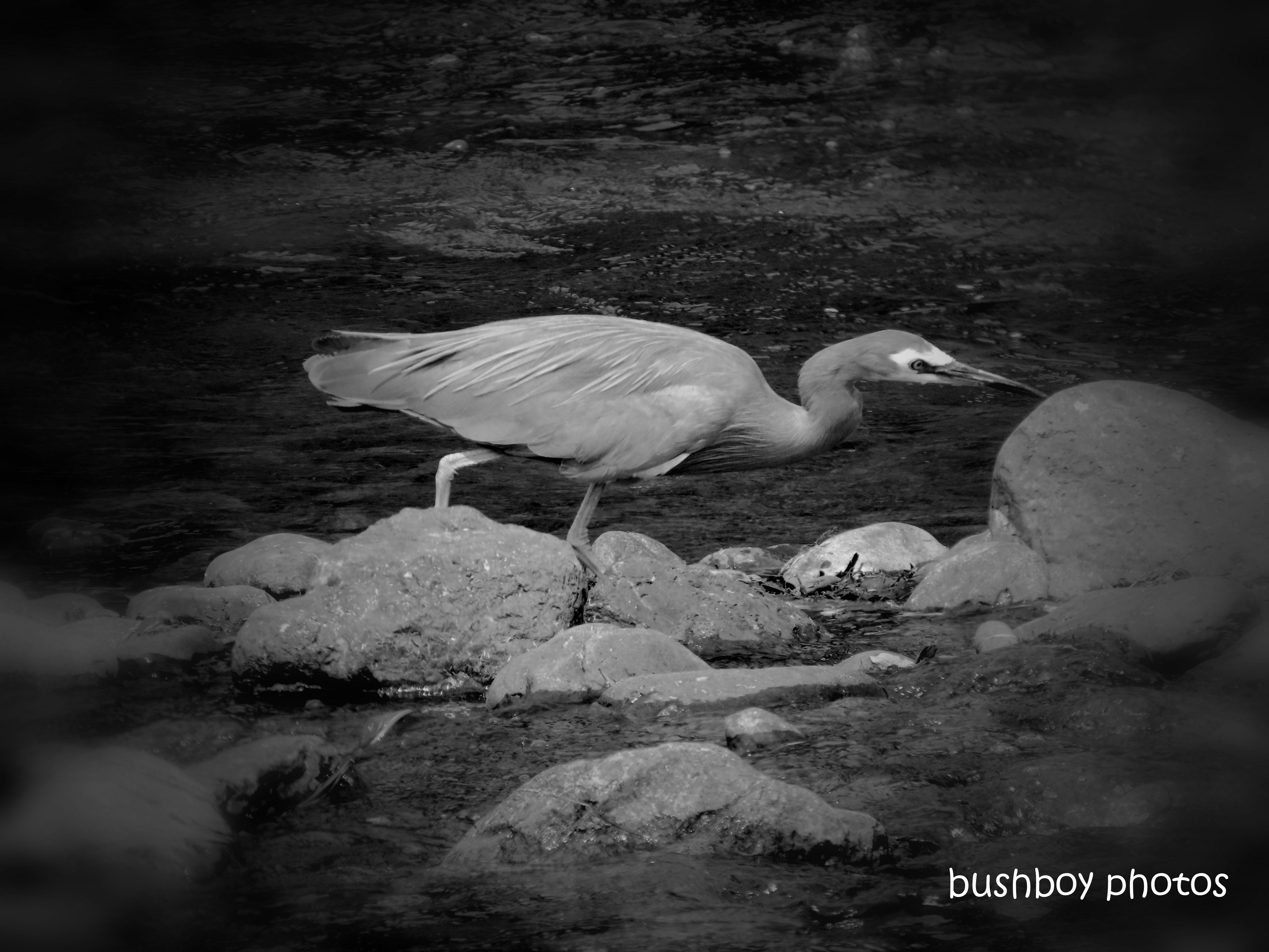191123_blog_challenge_six_word_saturday_white faced heron_mann river_fishing_blackandwhite