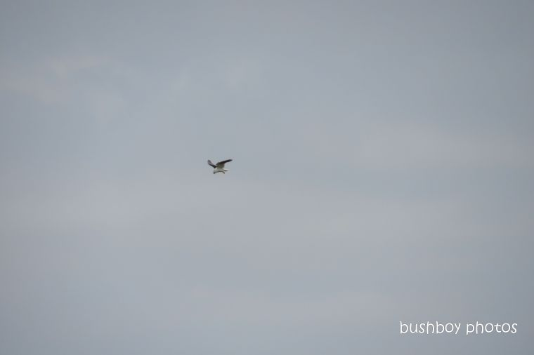 black-shouldered kite_hover_named_caniaba_oct 2019