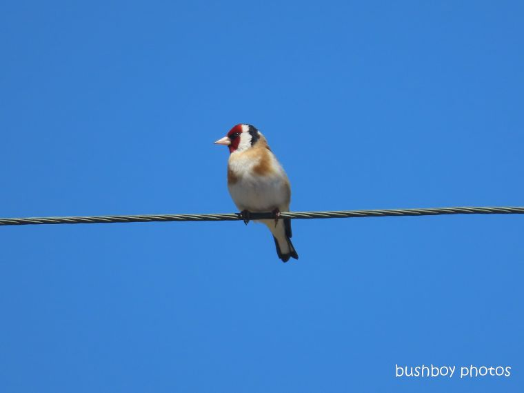 european goldfinch_named_tasmania_oct 2019