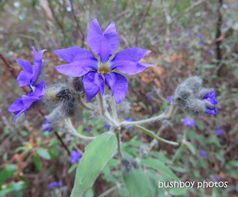 flower_native_blue dampiera_raspberry_lookout_named_gibraltar_range_oct 2019