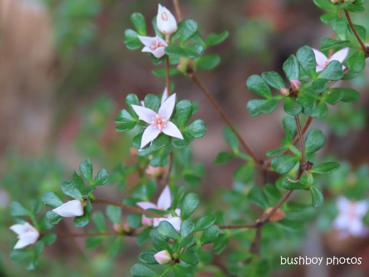 flower_native_small leaved boronia_raspberry_lookout_named_gibraltar_range_oct 2019