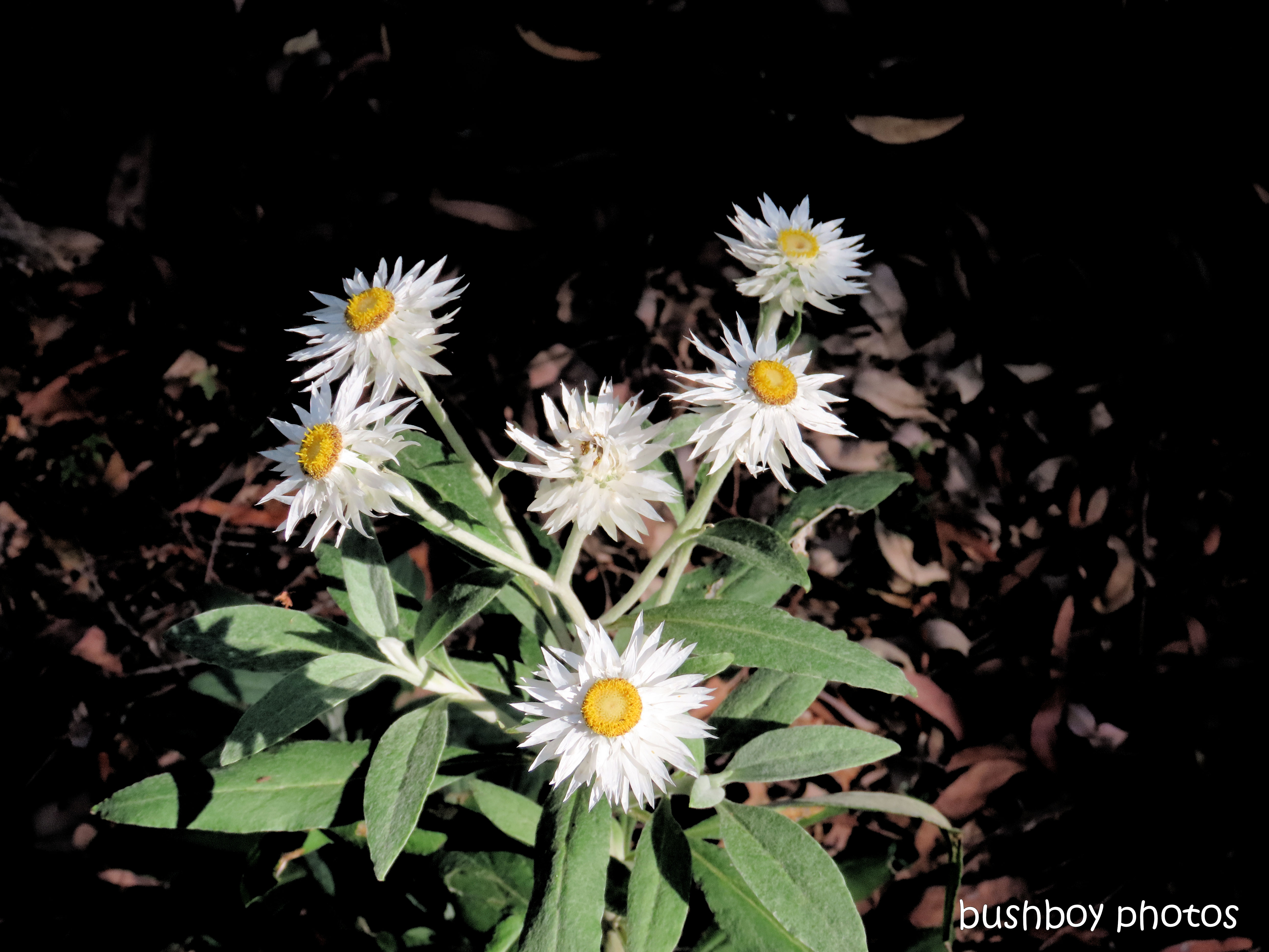 flower_native_white paper daisy_raspberry_lookout_named_gibraltar_range_oct 2019
