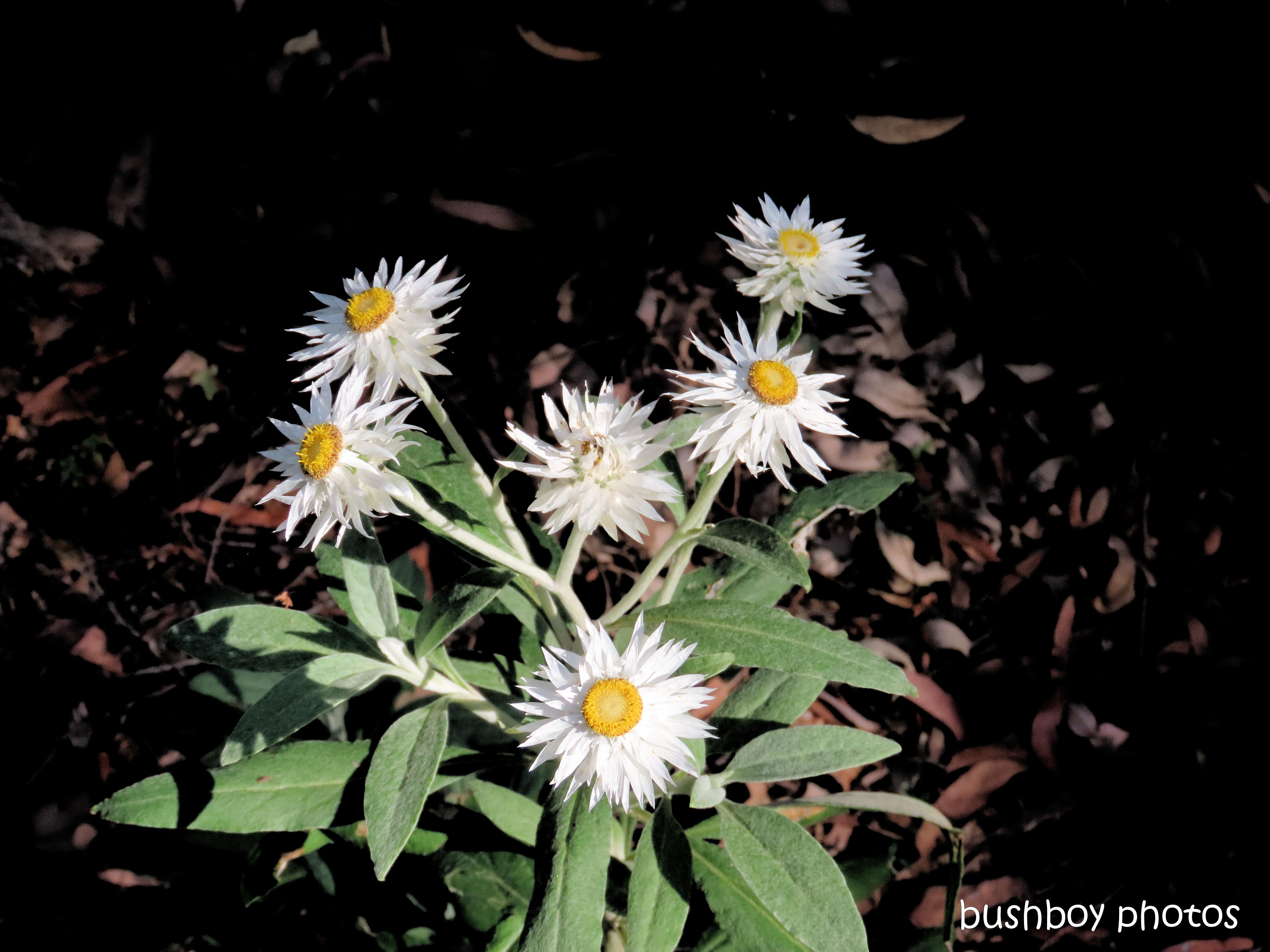 flower_native_white paper daisy_raspberry_lookout_named_gibraltar_range_oct 2019
