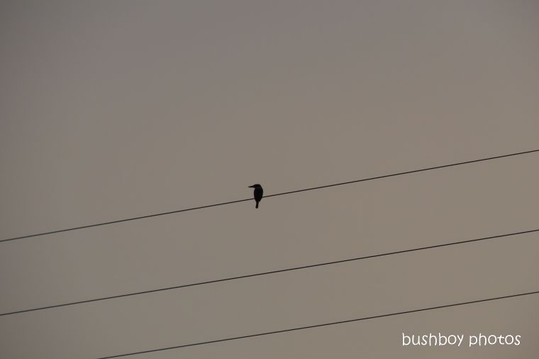forest kingfisher_powerline_named_caniaba_oct 2019