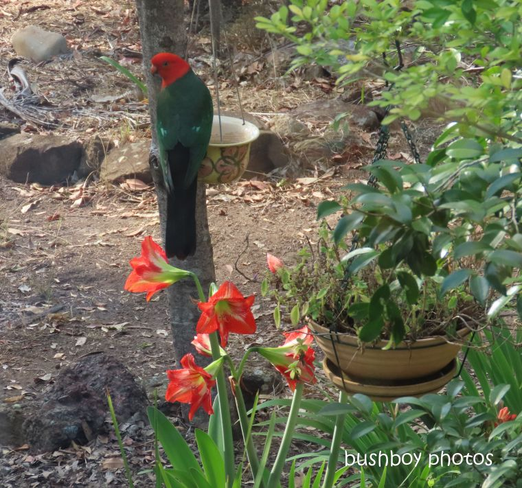 king parrot_hippeastrum_garden_named_home_jackadgery_oct 2019