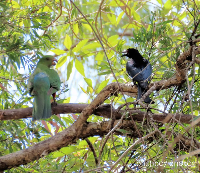 king_parrot_spangled_drongo_named_home_jackadgery_oct 2019