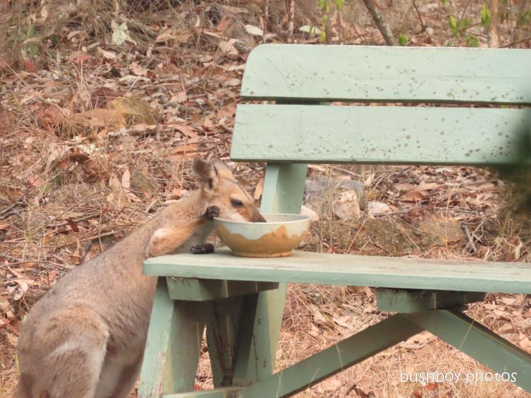 red-necked wallaby_female_drinking_named_home_jackadgery_nov 2019