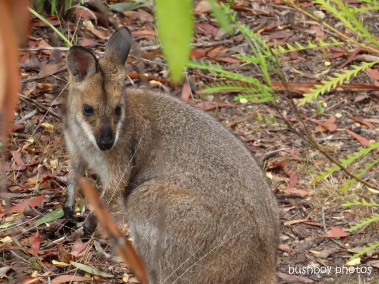 red necked wallaby_garden_named_home_jackadgery_oct 2019