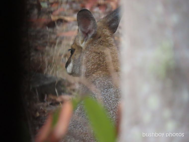red-necked wallaby_named_home_jackadgery_pct 2019