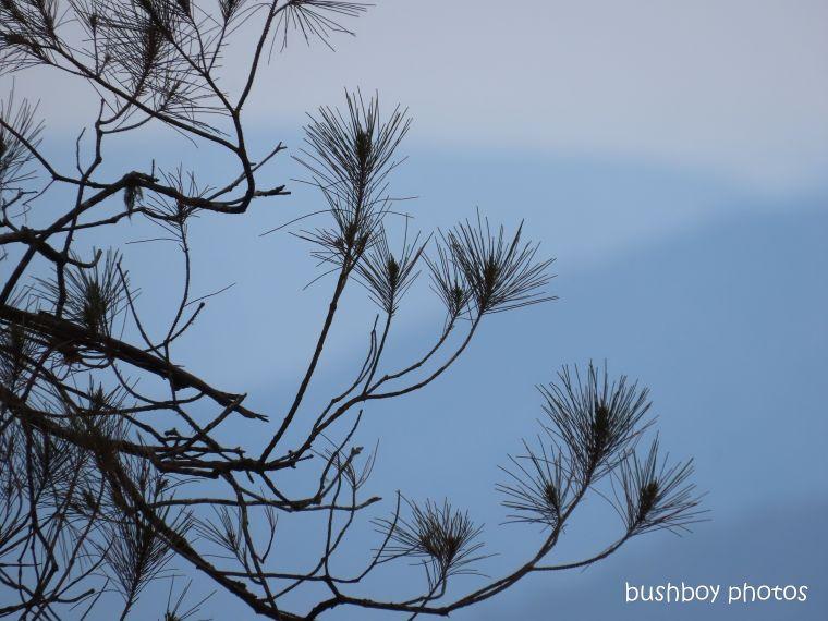 she-oak_tree_named_gibraltar_range_nov 2019