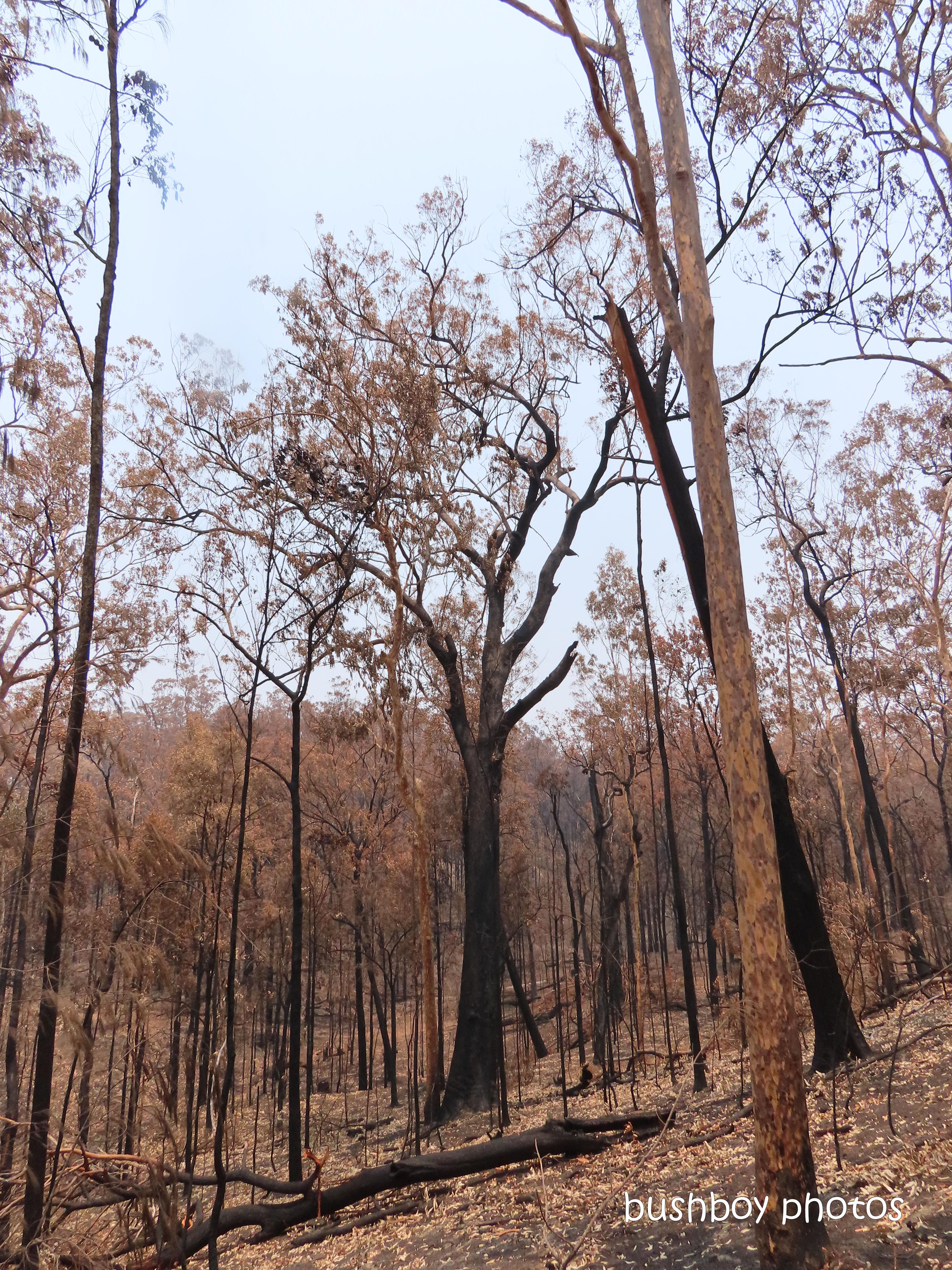 191222_blog_challenge_tree_big_tallowwood_durranbah_fire