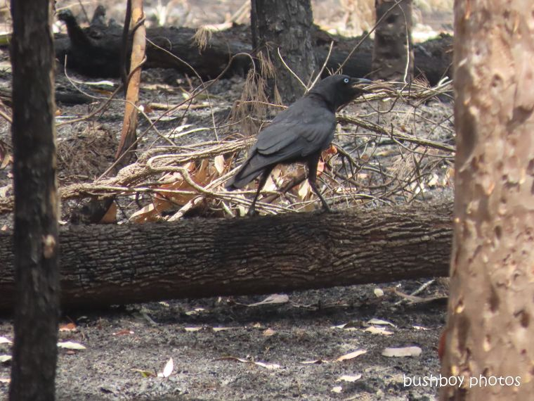 australian raven_log_bush_fire_durranbah_dec 2019