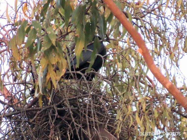 australian raven_nest_named_home_jackadgery_dec 2019