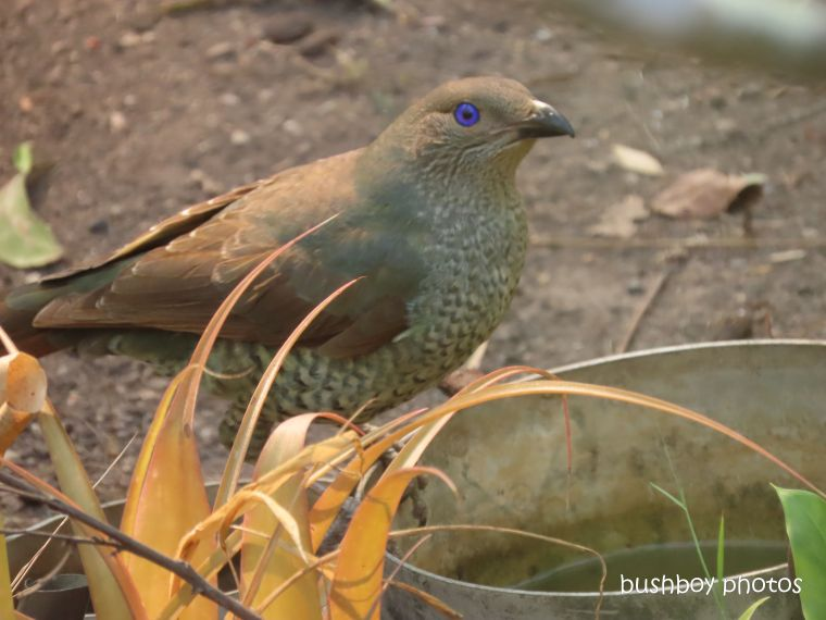 bowerbird_female_bird bath_garden_named_home_jackadgery_dec 2019