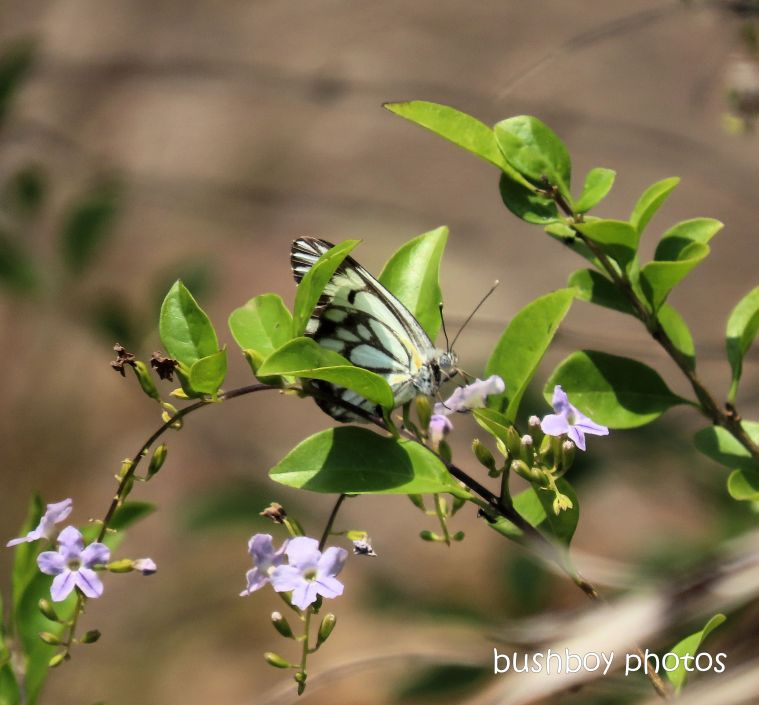 caper white butterfly_purple flower_named_home_jackadgery_dec 2019