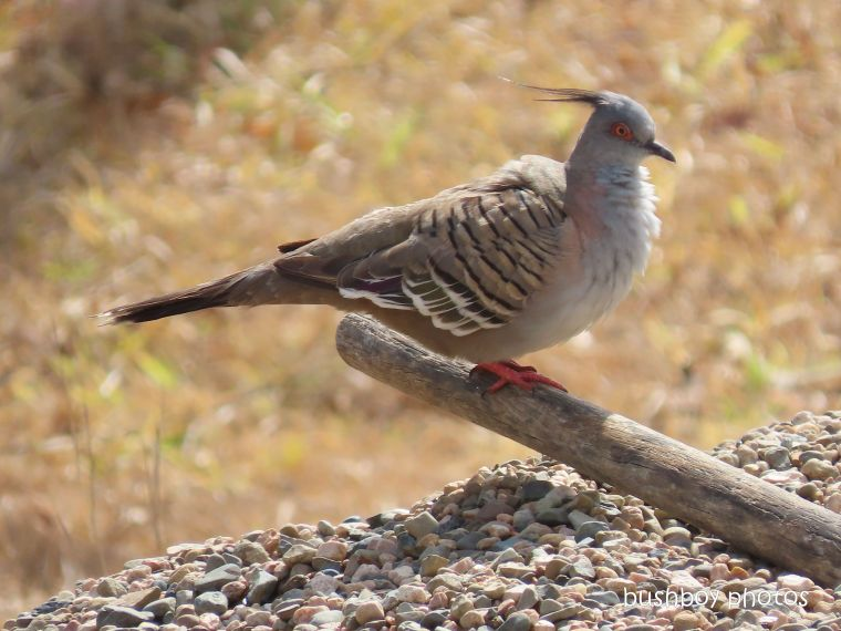 crested pigeon_shovel_named_caniaba_nov 2019