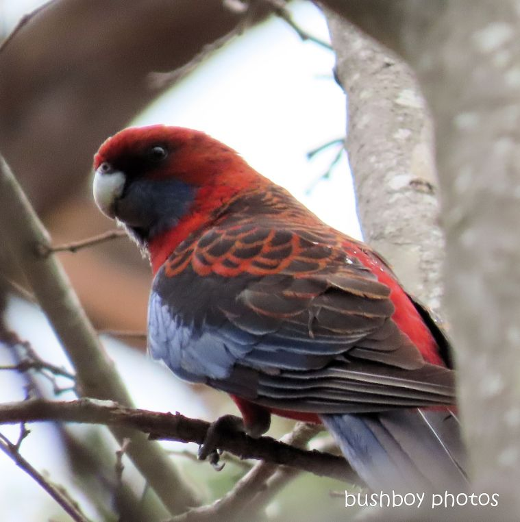 crimson rosella_tree_garden_fire_durranbah_dec 2019