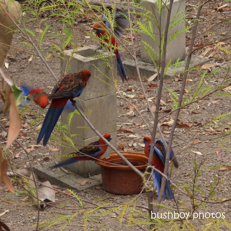 crimson rosellas_bird bath_water_garden_named_home_jackadgery_dec 2019