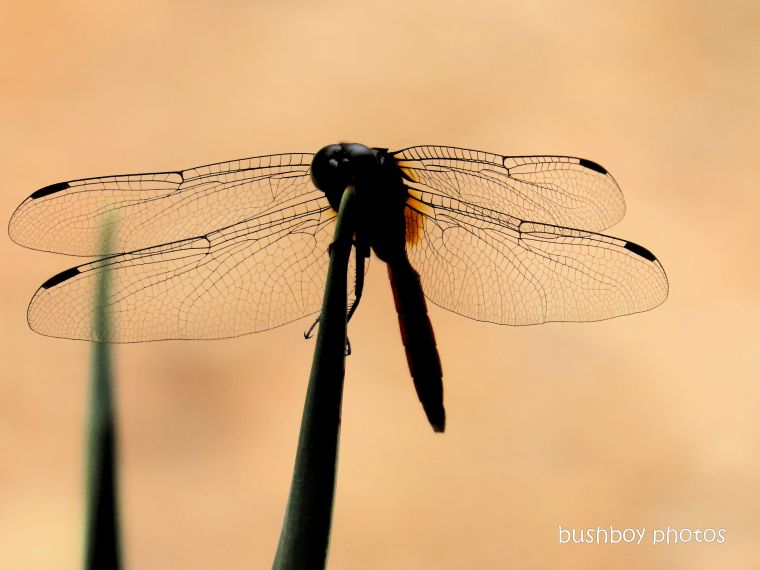 dragonfly_red_garden_named_home_jackadgery_dec 2019