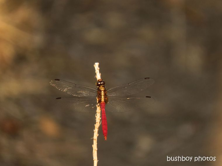 dragonfly_red_named_home_jackadgery_nov 2019