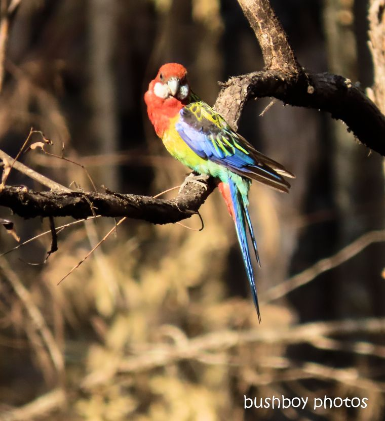 eastern rosella_tree_garden_fire_durranbah_dec 2019