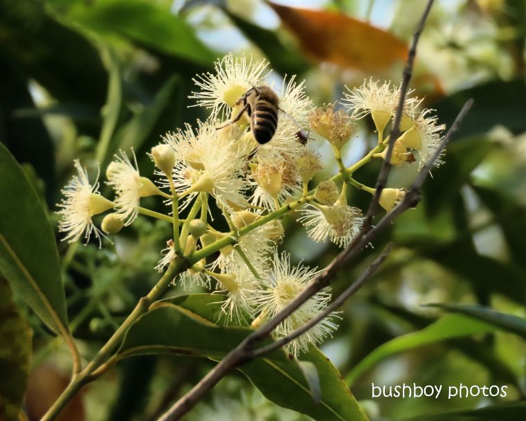 flower_eucalypt_white_bee_named_cangi_nov 2019