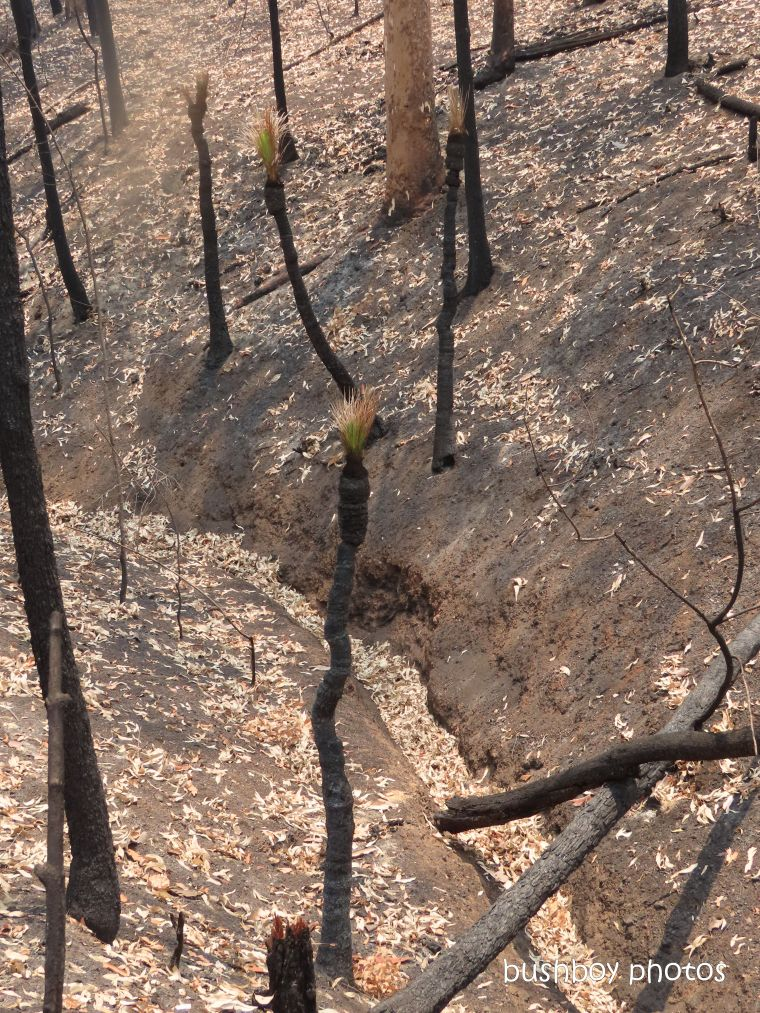 grass trees_burnt_fire_named_home_jackadgery_dec 2019