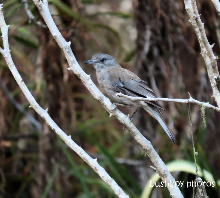 grey shrike thrush_tree_garden_fire_durranbah_dec 2019