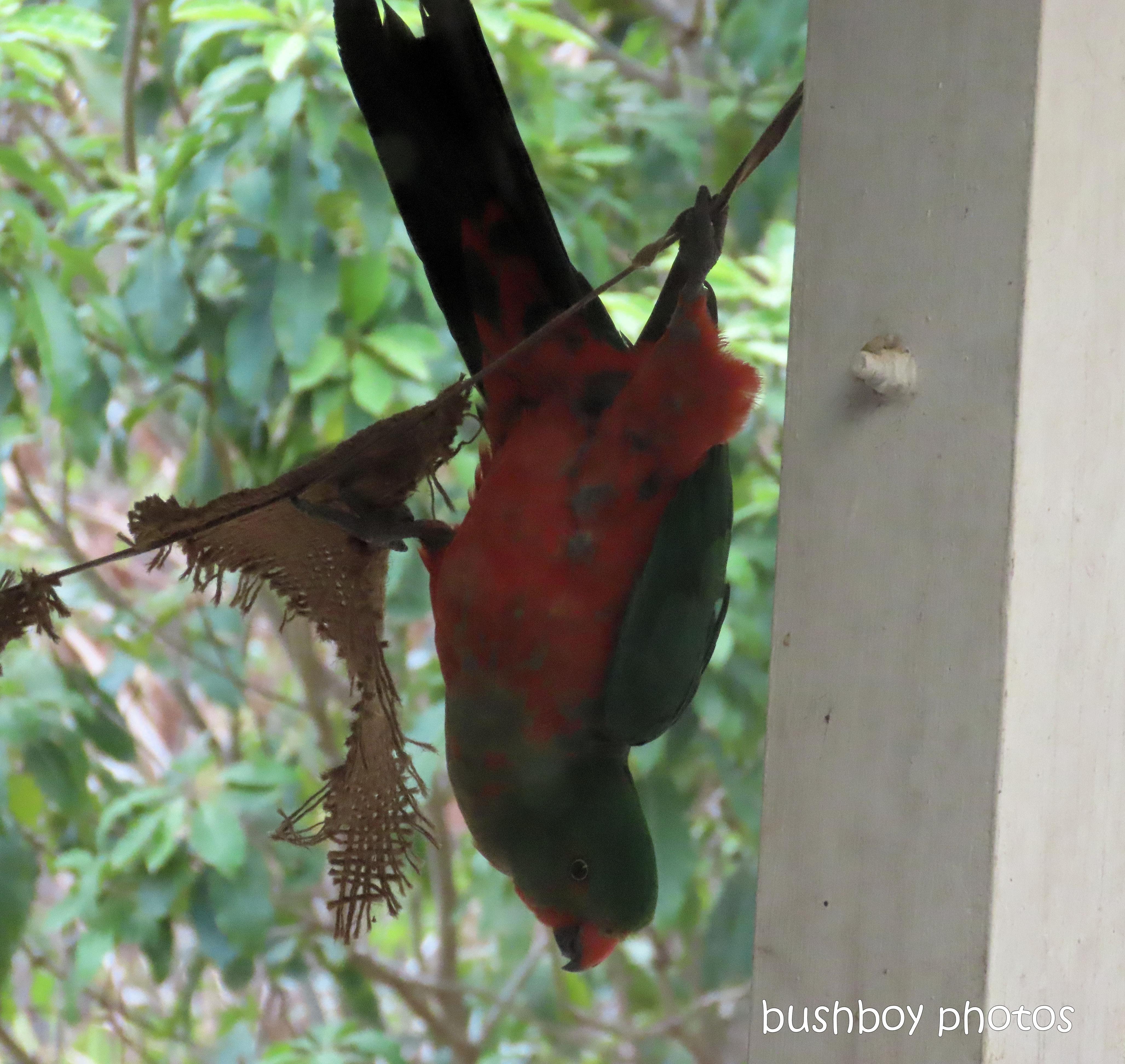 king parrot_acrobat_fun_named_home_jackadgery_dec 2019