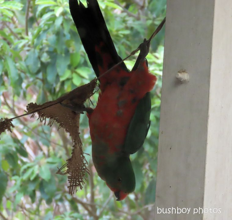 king parrot_acrobat_fun_named_home_jackadgery_dec 2019
