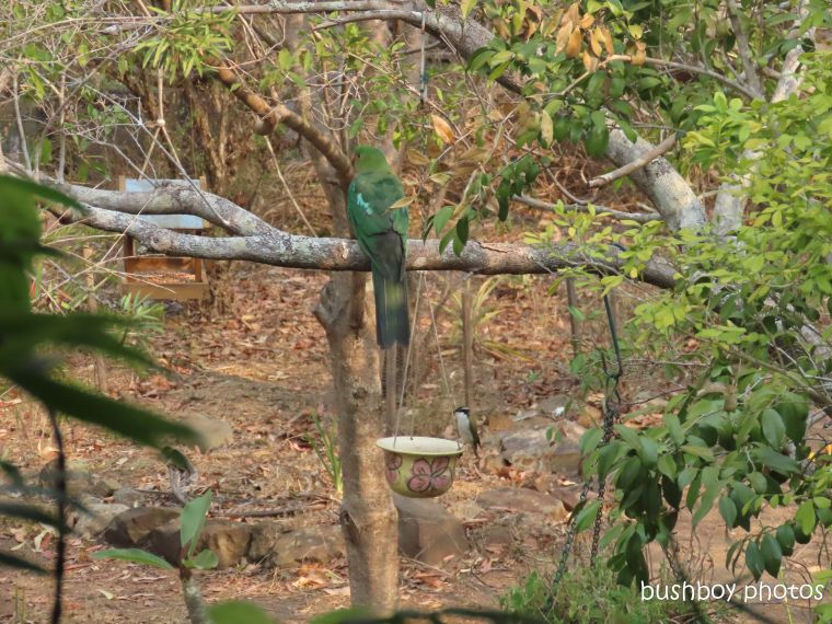 king parrot_female_white throated honeyeater_garden_water_named_home_jackadgery_nov 2019