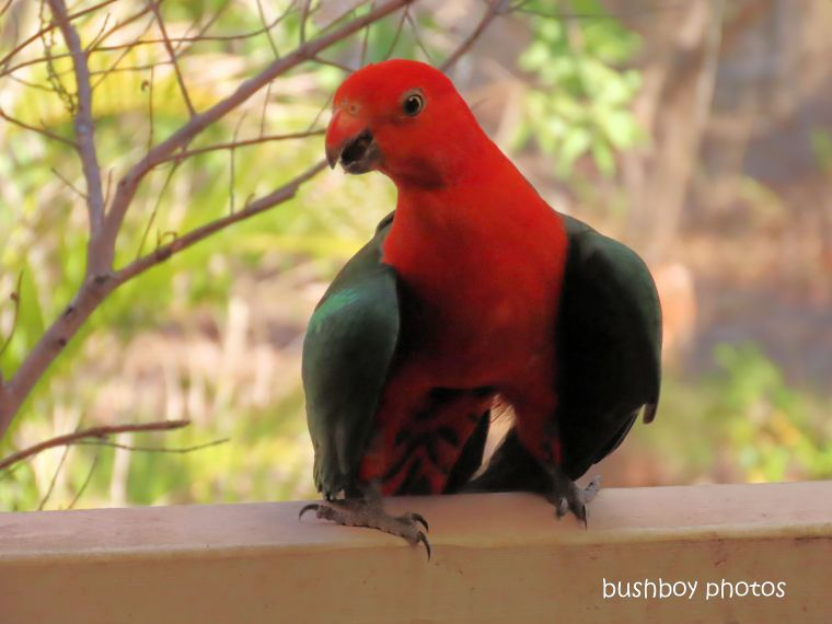 king parrot_hot2_named_home_jackadgery_nov 2019