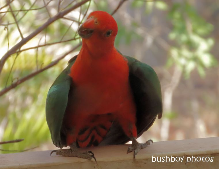 king parrot_hot_named_home_jackadgery_nov 2019