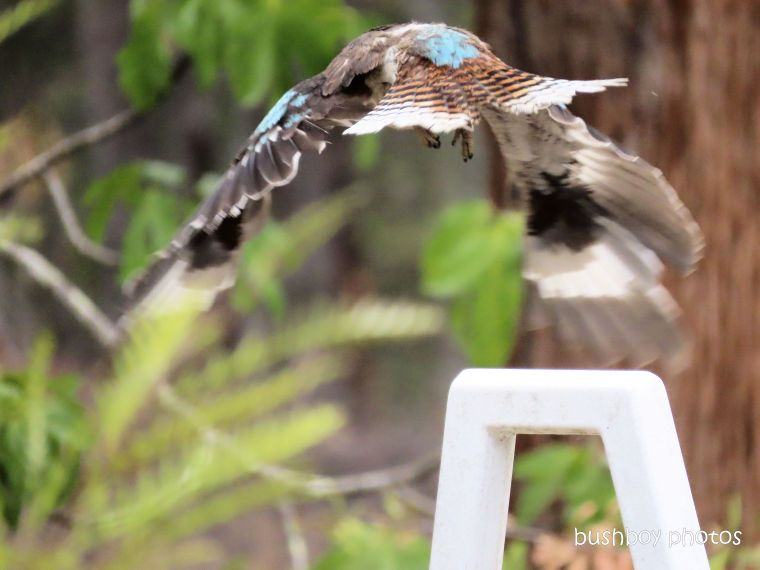 kookaburra_flying_named_home_jackadgery_nov 2019