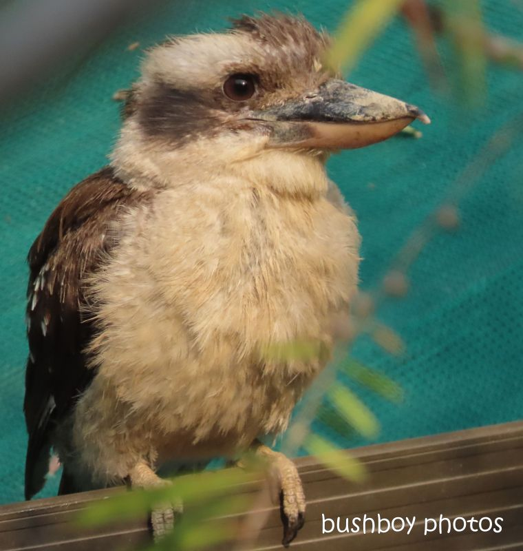 kookaburra_gate_watching_named_home_jackadgery_nov 2019